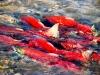 Adams River sockeye salmon