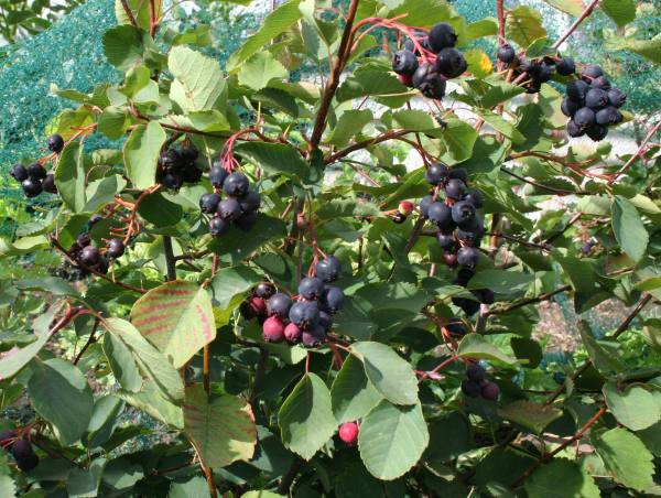 The Secwepemc Use Of Wild Plants Shuswap Passion